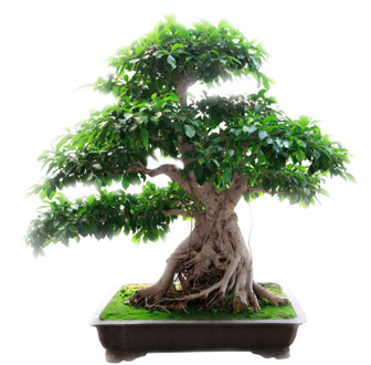 Здоровый дом и бонсай - дерево в горшке - использование растений в дизайне дома