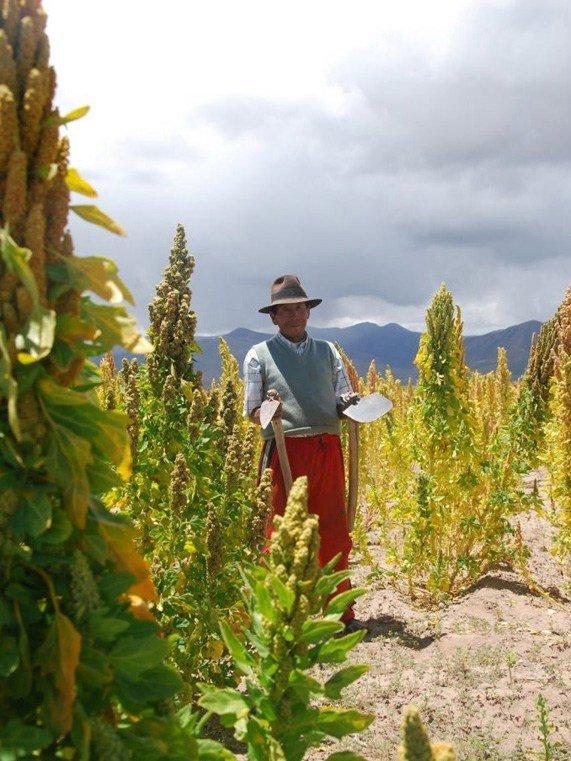 Мужчина-фермер с мотыгами на плантации киноа