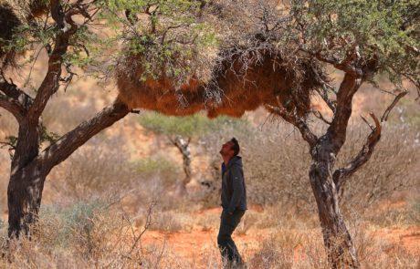 Калахари, гнездо сокола-пигмея
