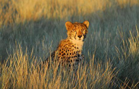Калахари, гепард