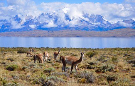 Ламы возле отеля Tierra Patagonia, вид на озеро Сармьенто