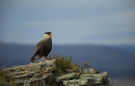Орел в Национальном парке Torres del Paine, Чили
