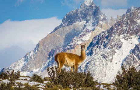 Лама в Национальном парке Torres del Paine, Чили
