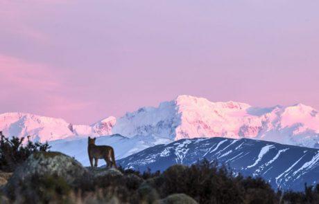 Пума в Национальном парке Torres del Paine, Чили
