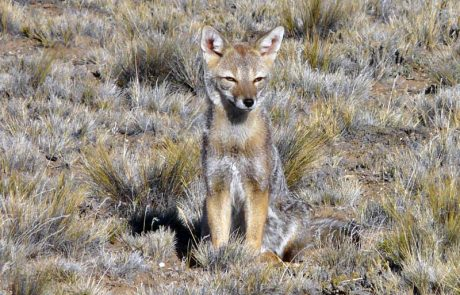 Патагонская лисица в Национальном парке Torres del Paine, Чили