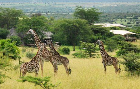 Лагерь Mara Bushtops, жирафы