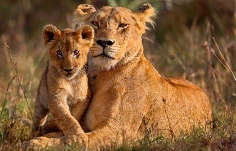 Сафари в Африке, львица со львенком
