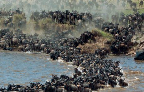 Сафари в Африке, миграция антилоп гну